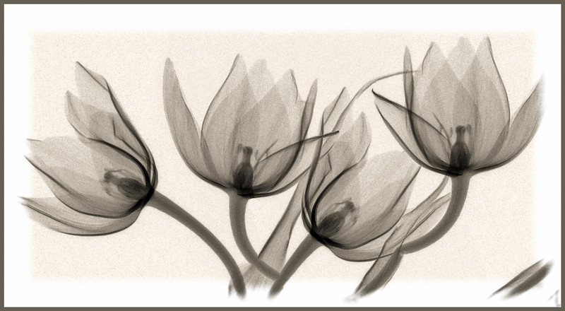 yelllow tulip composite