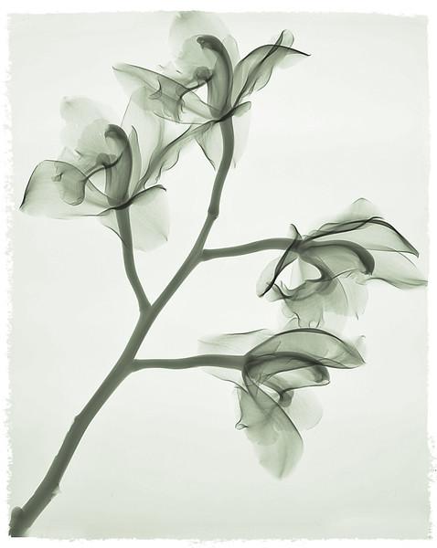 4 orchids longcolor