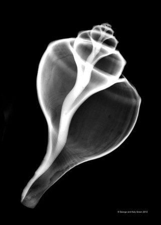 Xray photo of channeled whelk, Busycotypus canaliculatus, previously known as Busycon canaliculatum  belonging to the family Buccinidae.