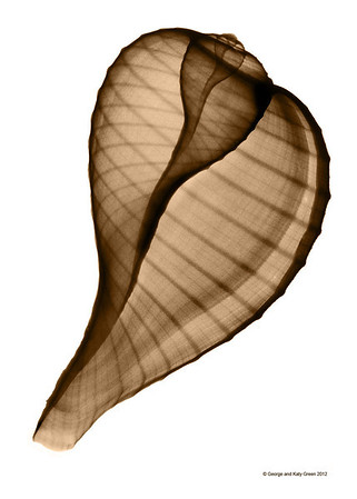 Xray photo of Ficus ficus, Fig Shell found along the eastern coast of North Americia from North Carolina to the Gulf of Mexico. Family Ficadae