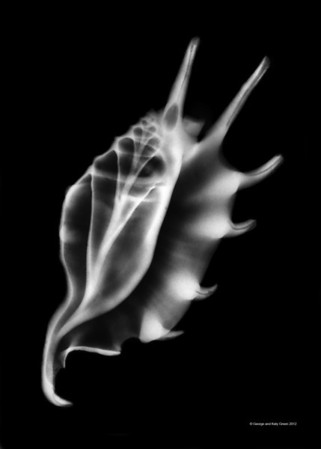 Xray photo of Spider Conch, Lambis lambis, Family Strombidae, the true conchs