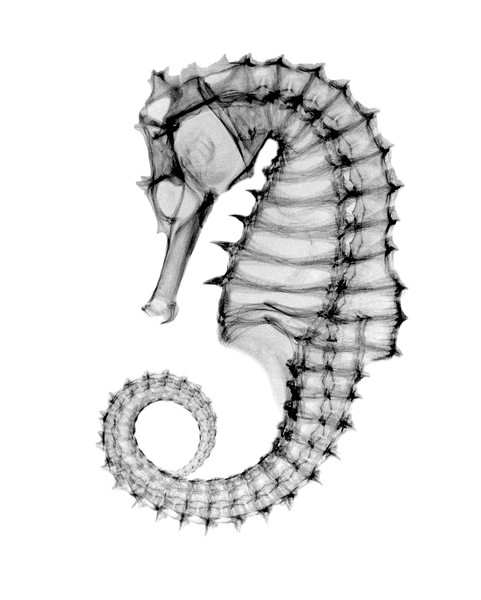 This is an Xray photo of the Northern Sea House, Hippocampus erectus, also called lined sea horse, and was once called Hippocampus hudsonius. It's also called the spotted seahorse. It is a species of fish that belongs to the Syngnathidae family.