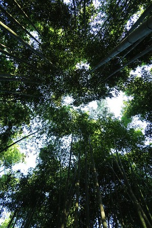 Famous bamboo forest - tree tops. The sound of the wind in the trees above is amazing as is the light filtering through.