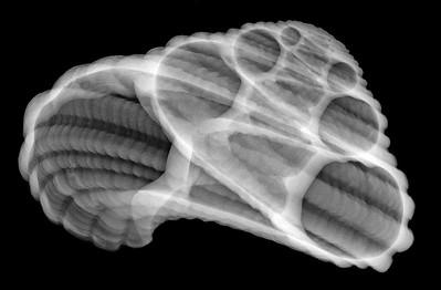 Heliacus Shell