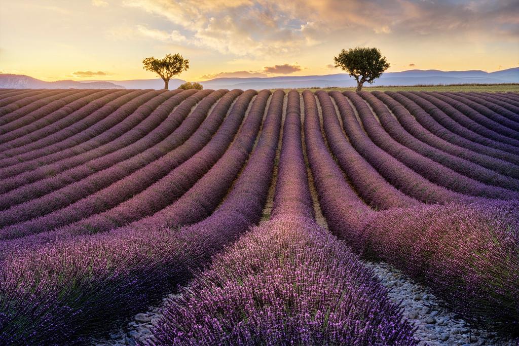 Lavander Fields, Provence, France