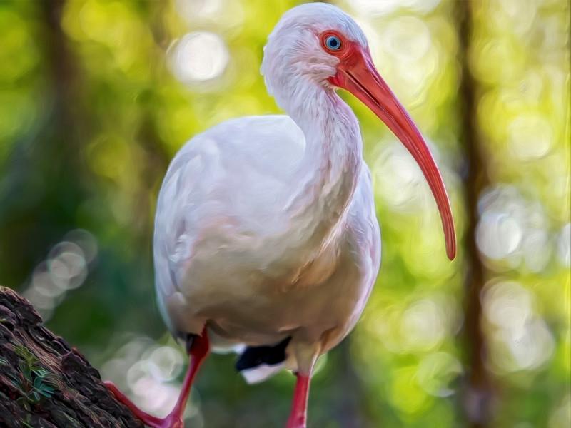 """American White Ibis"""