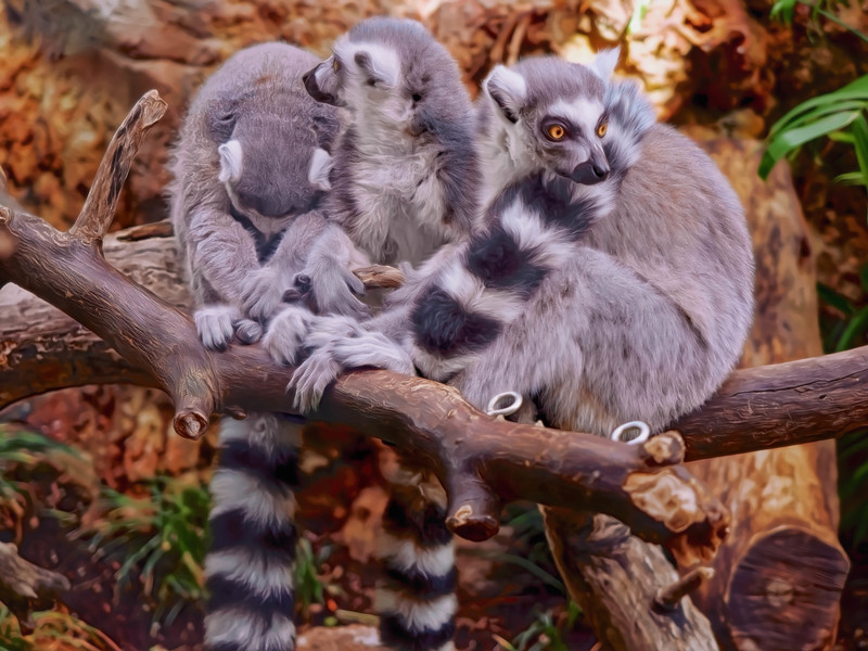 """Ring-Tailed Lemurs Trio"""