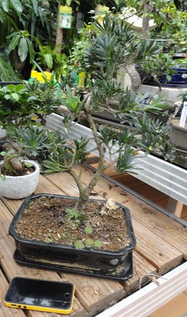 Bonsai tree to sit on low table.