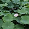 Nanputuo Temple lotus garden