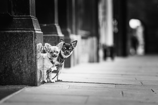 Something a little different for me out on location with some lovely chihuahuas