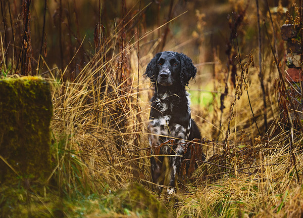 A lovlely character portrait of large #Munsterlander Xena, enjoying our time out in the forest #dogphotography #gundog
