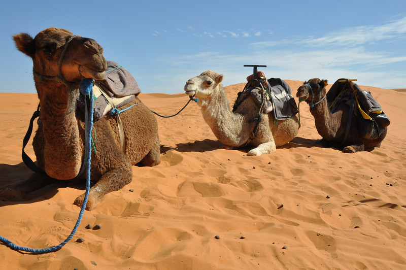 Camel Safari, The Sahara Desert