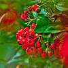 Michigan Berries