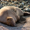 Lone Elephant Seal in Northern California