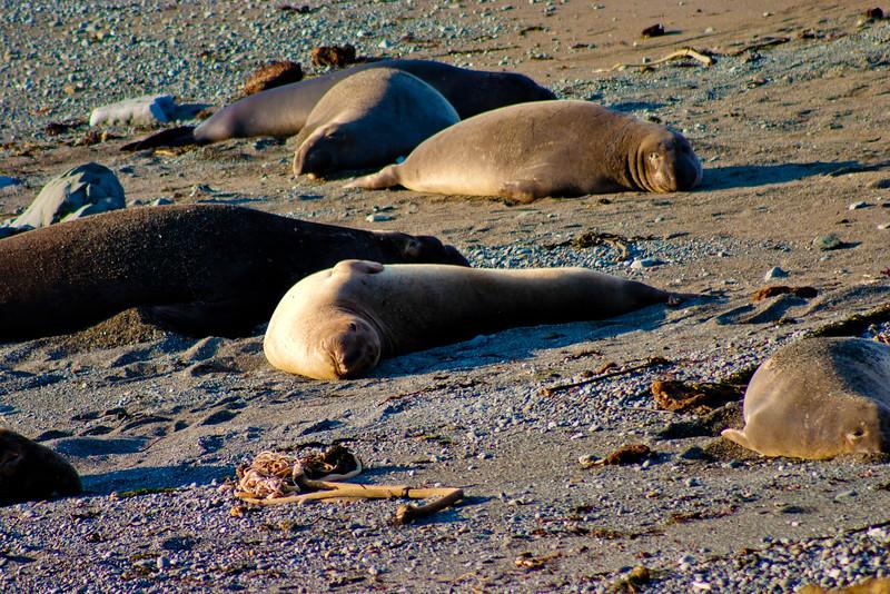 Elephant Seals Sleeping