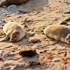 Elephant Seal Siblings in Northern California
