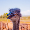 Ostrich Farm in  South Africa