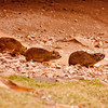 Family of Hyrax in South Africa