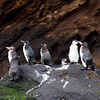 Galapagos Penguin Group : Journey into Genovesa Island in the Galapagos Archipelago