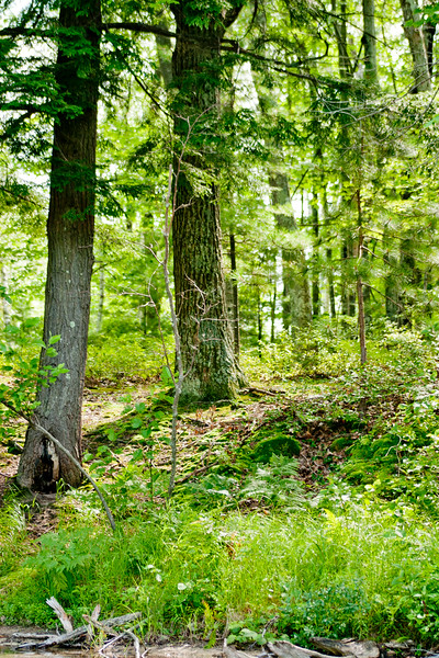 Forest in Northern Michigan