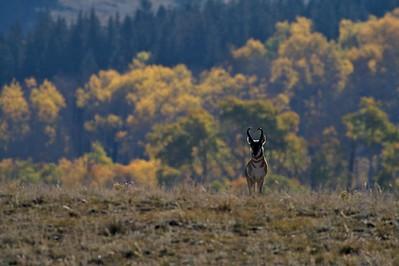 Pronghorn pose Yellowstone _MG_4276