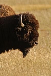 Bison head Yellowstone _MG_4593