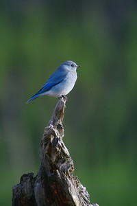 Mountain Bluebird Yellowstone_MG_4420