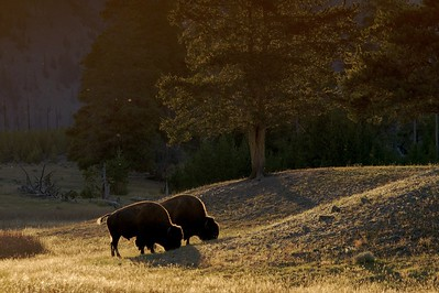Bison pair backlit Yellowstone _MG_4626