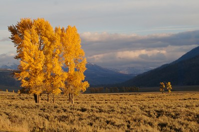 Cottonwoods add a bright splash of color to the Lamar Valley in late September  [September 25; Yellowstone National Park, Wyoming]