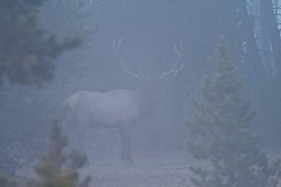 Elk in fog Yellowstone _MG_4681