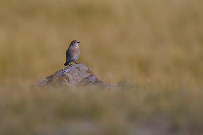 Mountain Bluebird Yellowstone _MG_4345