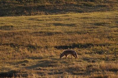 Coyote hunting backlit Yellowstone _MG_4215