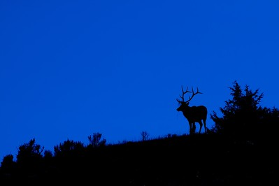 Elk blue silhouette Yellowstone WY IMG_0001705