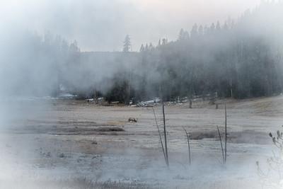 Elk Yellowstone National Park WY  IMG_0958