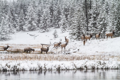 Elk cows herd in snow Madison River Yellowstone National Park WY  IMG_1605