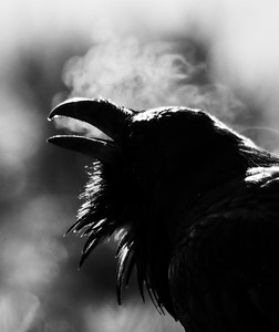 Common Raven backlit breath Yellowstone National Park WY  P1000085