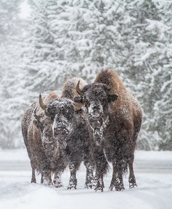 Bison in heavy snow Madison River Yellowstone National Park WY  IMG_1642