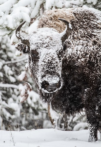 Bison in heavy snow Madison River Yellowstone National Park WY  IMG_1638