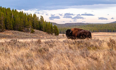 Bison slow shutter speed Hayden Valley Yellowstone National Park WY  IMG_1515