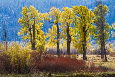 Zen Cottonwood Soda Butte Creek Yellowstone National Park WY  IMG_1286