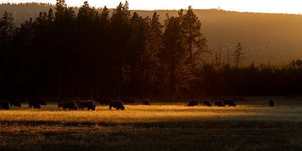 Bison herd golden backlight Fountain Flat Drive Firehole River Yellowstone National Park WY  IMG_0855