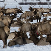 Wintering Elk in National Elk Refuge