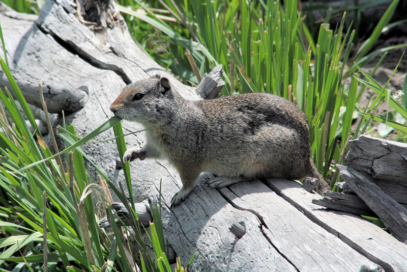 Ground squirrel doing lunch
