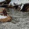 2 Elk Eating on an Island Firehole River