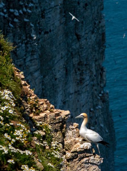 Gannet and Puffin at Bempton Cliffs