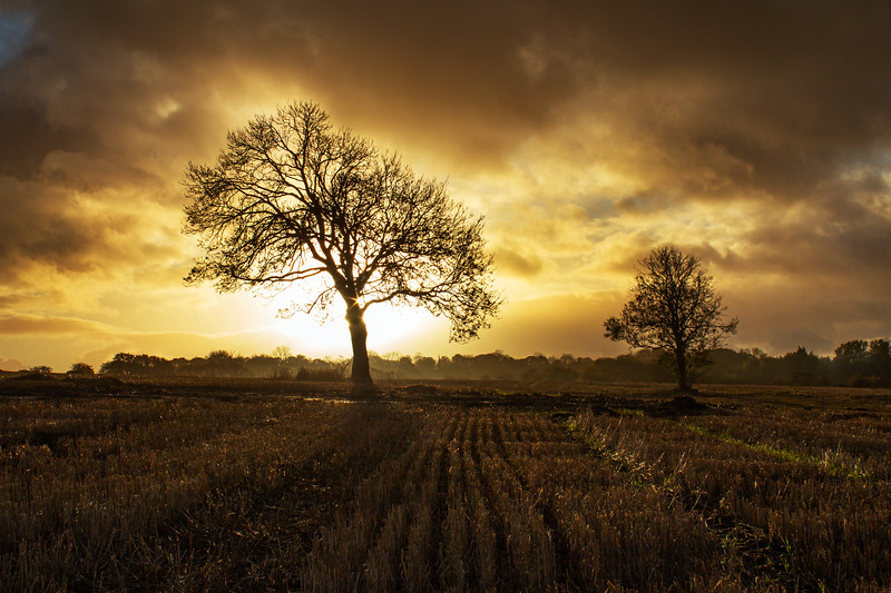 A beautiful tree in farmers felsd with golden sunset.