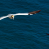Gannet and Puffin at Bempton Cliffs