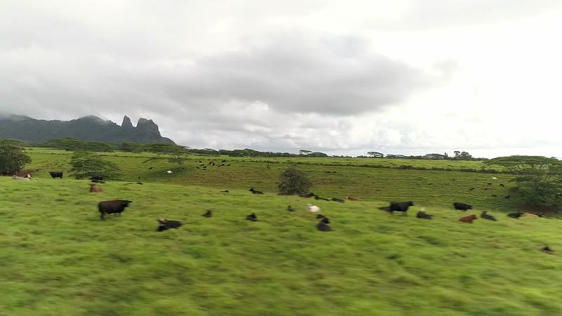 low beside cowsbirds