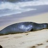 Seal on beach-converted