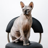 hairless cat posing gracefully on a nail salon seat